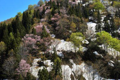 六十里越峠 新緑・山桜