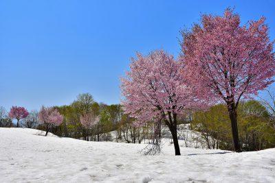 福山新田 雪上桜