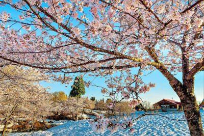 第14回【入賞】雪上桜に朝陽射す