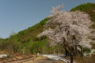 六十里越峠 山桜