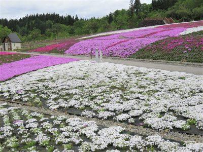 20210514芝桜