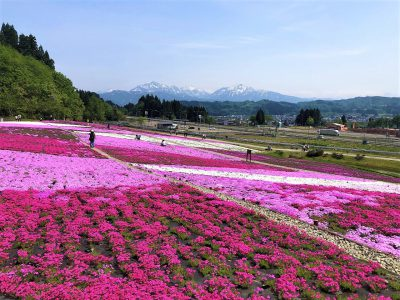 20210515芝桜