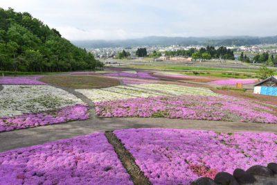 20210520芝桜