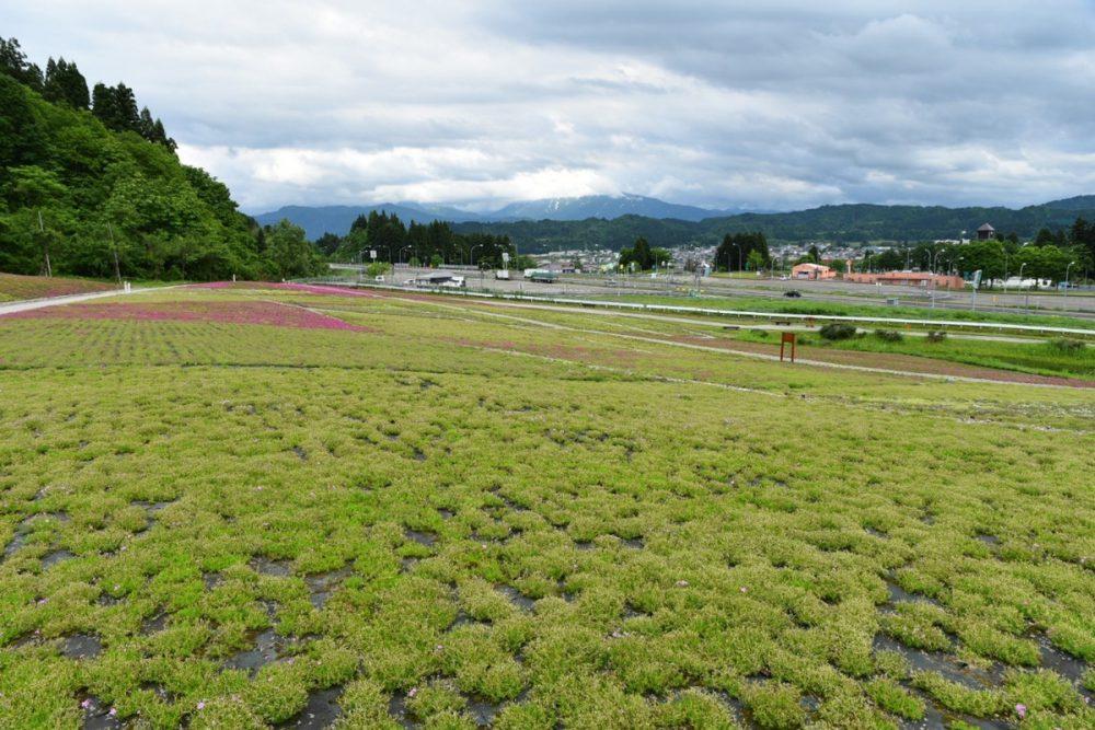 芝桜20210530