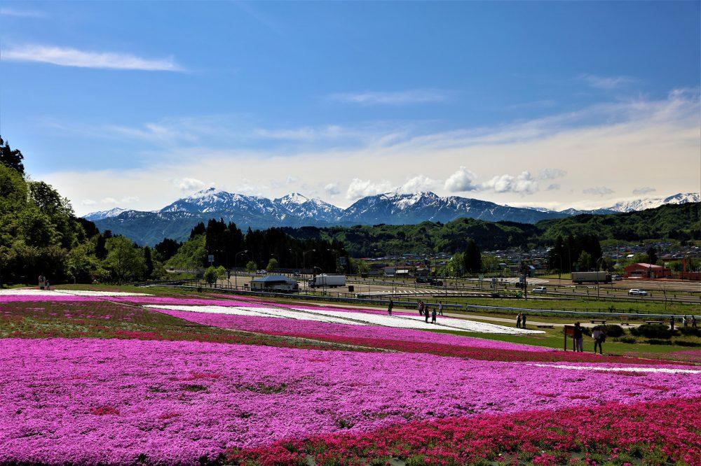 花と緑と雪の里の「芝桜」