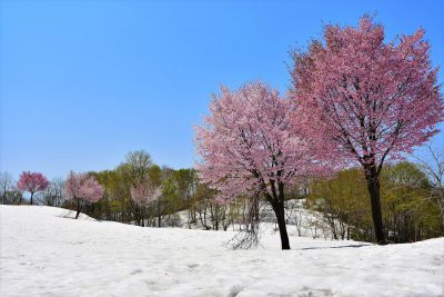 白い雪に映えるオオヤマザクラ