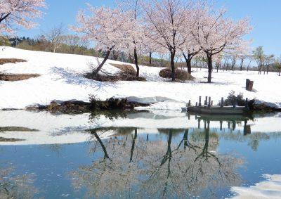水に映り込む雪上桜