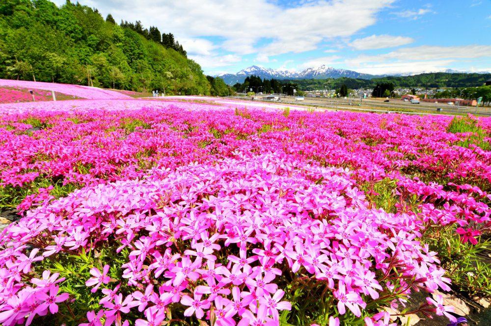 第17回【魚沼芝桜まつり大賞】花盛り