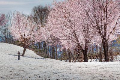 第17回【春賞】残雪とオオヤマザクラ